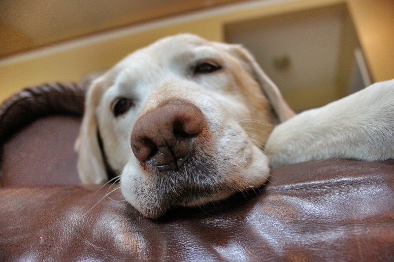 yellow Lab, labrador, ulcer, dog training, clicker