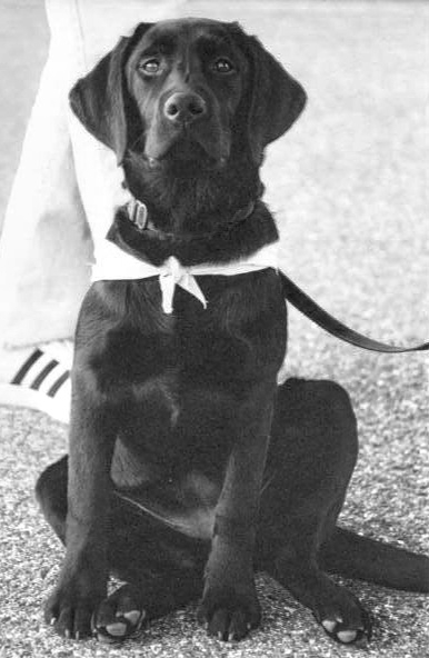 black Labrador, black Lab, service dog, service dog in training