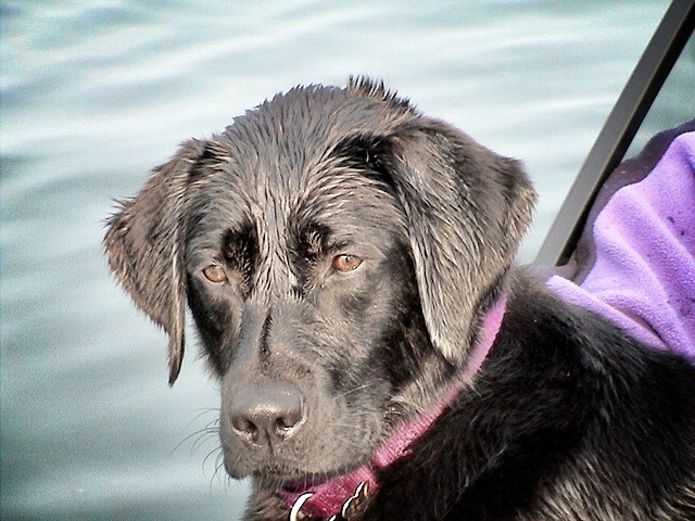 Lily, black Labrador, service dog