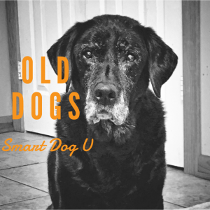 old dogs, Labrador, black Labrador, Lily, senior dog, canine cognitive dysfunction