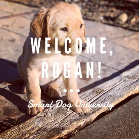 Introducing Service Puppy in-Training, Rogan