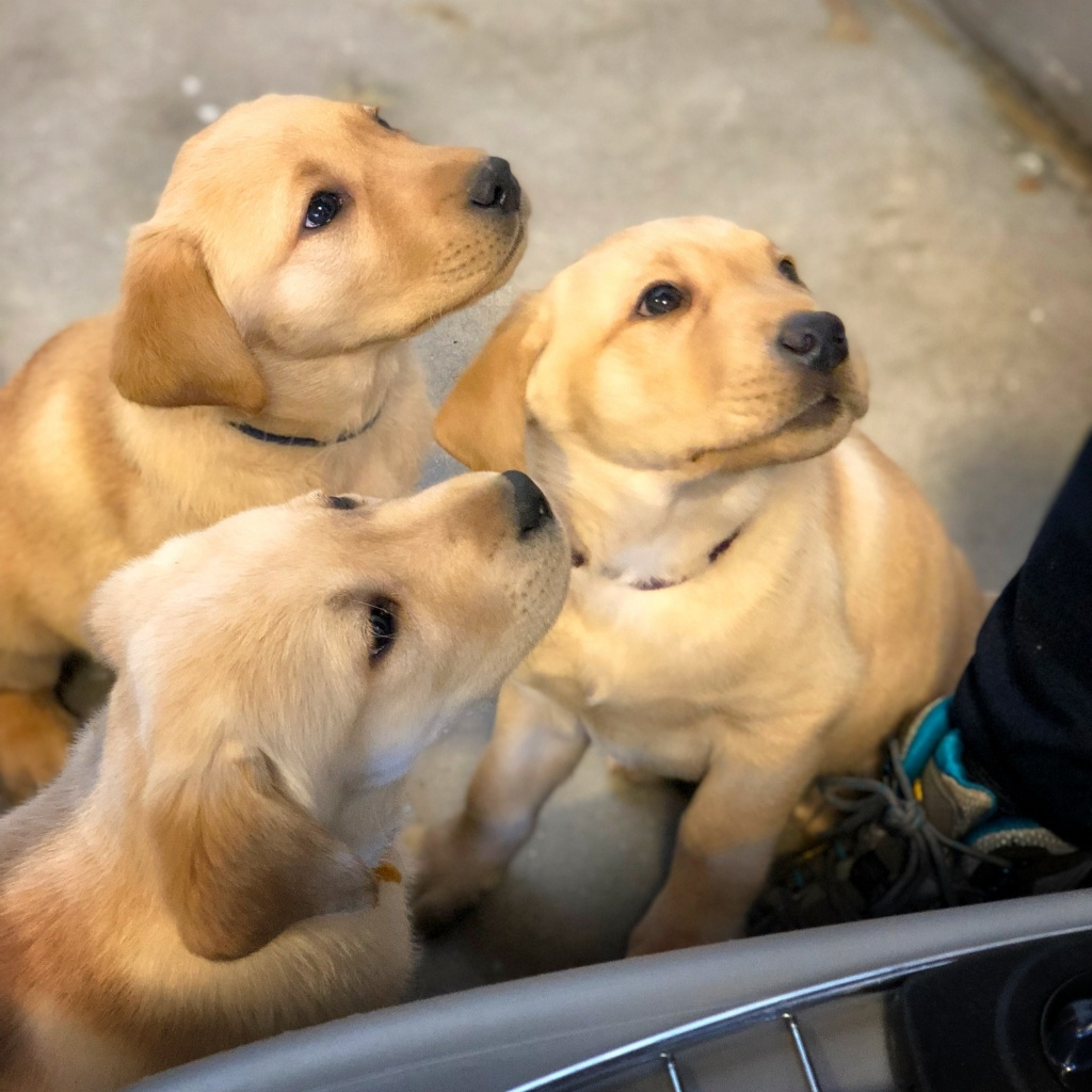 yellow Labrador, yellow Lab, service puppy in training, service dog in training