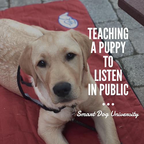 Teaching a Puppy to Listen in Public