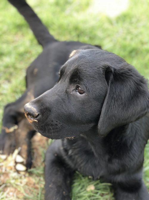 black Labrador, black Lab, puppy training, socialization, clicker, Frederick, Smart Dog